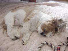 Snuggly Shih tzu sleeper