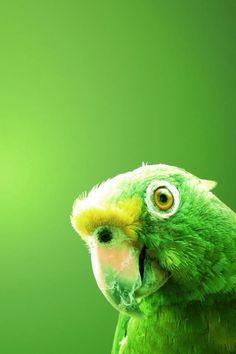 Parrot #animal #green #eye