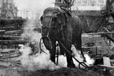 """A frame from the 1903 74 second short documentary film Electrocuting an Elephant produced by Edwin S. Porter or Jacob Blair Smith for the Edison Manufacturing Company. On January 4, 1903 Topsy the elephant was electrocuted by the owners of the Conney Island amusement park """"Luna Park"""" in an event to raise publicity about the opening of the new park (at this point still under construction). The film captured the point when 6600 volts of electricity was turned on. Behind Topsy is the unfinished…"""