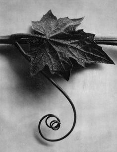 Fotografia de Karl Blossfeldt.  Bryonia Alba, White Bryony, leaf with tendril