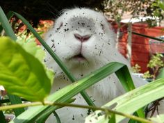Bunny's Been in the Plants! — The Daily Bunny Rabbit Life, House Rabbit, Funny Bunnies, Baby Bunnies, Bunny Rabbits, Mini Lop Rabbit, Daily Bunny, Cute Buns, What Is Like