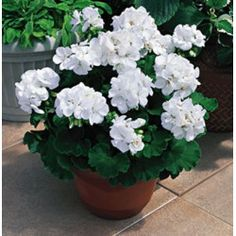 (Geranium) Americana® White Pelargonium is a nice clean white. Like other American Series® geraniums, Americana® White is an excellent landscape performer and has a well branched plant structure. Container Flowers, White Flowers, Plants, Geranium Plant, Annual Plants, White Gardens, Beautiful Flowers, Geraniums, Container Gardening Vegetables
