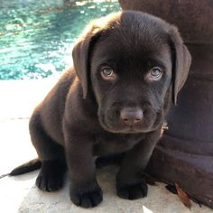 Super Cute Puppies, Cute Baby Dogs, Cute Dogs And Puppies, Doggies, Baby Animals Pictures, Cute Animal Photos, Cute Little Animals, Cute Funny Animals, Labrador Retriever Dog
