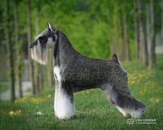 Wow!!!! Such a Beautiful mini Schnauzer