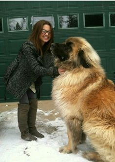 Leonberger Dog, there's a guy in my neighborhood who has one and I always get to pet it :)