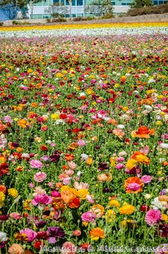 Carlsbad Flower Fields, San Diego, USA
