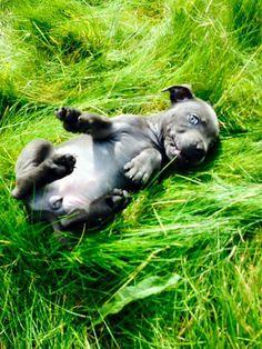 9wks - (British - Staffordshire Bull Terrier)