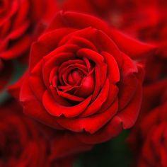 rose red~
