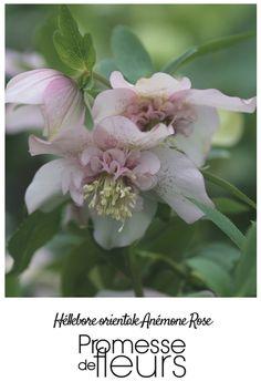 Cette variété dispose de fleurs dotées de magnifiques pétales rose assez foncé avec au centre une jolie collerette du même ton, couramment appelée fleurs d'anémones.