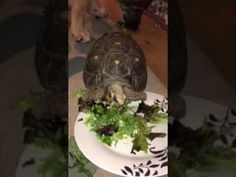 Bugs n Bones - Toni the Red Footed Tortoise attempting to eat lunch
