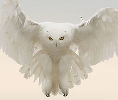 A male snowy owl hovers over a field near Colorado Springs, Colorado. Photo by Barbara J. Fleming via National Wildlife Federation. White in nature Beautiful Owl, Animals Beautiful, Cute Animals, Wild Animals, Simply Beautiful, Pretty Birds, Love Birds, Wale, Owl Bird