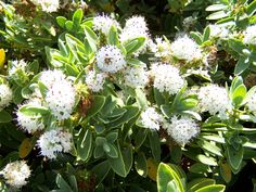 Hebe albicans a small evergreen shrub with white flowers in summer. White Flowering Shrubs, Evergreen Shrubs, Plants For Shady Areas, Dwarf Shrubs, Garden Shrubs, Different Vegetables, Outdoor Fun, Vegetable Garden, White Flowers