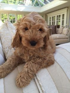 Mini Cockapoo, Cockapoo Puppies, Goldendoodle, Fluffy Dogs, Fluffy Animals, Cute Animals, Puppies That Dont Shed, Dogs And Puppies, Shiba Inu