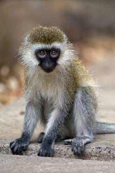 D31_0303 Juvenile Vervet monkey, Macushla House, Nairobi.