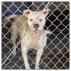 Lucinda needs out March 17 ID #A479854 Lucinda is a true rescue, tough, yet purest of heart and soul. Dirty, in shelter isolation , food stinks, has cherry eye , looks like scraped cornea on left eye , painful. YET LUCINDA SMILES ! Happy to have company , tail wagging fun loving pup! Lucinda is a young female Pit Bull, going to need rescue help ? San Bernardino City Shelter , CA 909-384-1304
