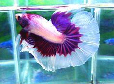Purple male betta halfmoon
