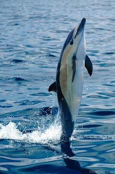 Short-beaked common dolphin (delphinus delphis) by clcarder, via Flickr