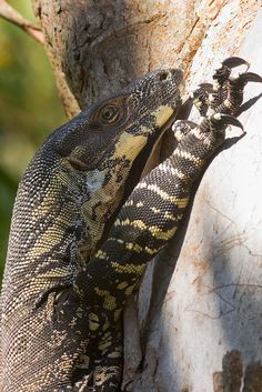 Lace monitors reach a staggering ft. These are the perfect pet. No shedding, no allergies, and definitely no intruders! Animals Of The World, Animals And Pets, Cute Animals, Reptiles And Amphibians, Mammals, Monitor Lizard, Komodo Dragon, Australian Animals, Animal Photography