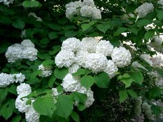 Viburnum plicatum commonly known as the Japanese Snowball tree, white flowers in spring, autumn tonings. Mock Orange Shrub, Snowball Viburnum, Pom Pom Flowers, Hydrangea Not Blooming, Low Maintenance Landscaping, Winter Trees, All Plants, Shade Plants, Beauty