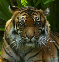 Find Sumatran Tigress Staring stock images in HD and millions of other royalty-free stock photos, illustrations and vectors in the Shutterstock collection. Thousands of new, high-quality pictures added every day. Your Life, Posts, Messages