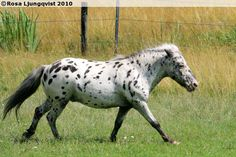 British Spotted Pony gelding Forgefield Aladdin. BSP has been around for centuries although its origins are quite unknown. They may be original wild ponies with spotted coloring or somehow related to the once-popular spotted horses and ponies in Europe. The height of BSP varies from 81 cm to 147 cm and they must have a real pony character. There are miniature, riding pony or cob type in BSP. And they always have a spotted coloring as the name goes.