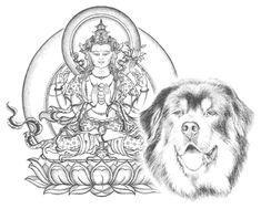 Tibetan Mastiff's available for adoption