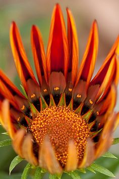 South Africa - The King Protea, (Protea cynaroides), is a flowering plant. Its flower head (what the layman will call the 'flower') is the largest in the genus Protea: the species is also known as Giant Protea, Honeypot or King Sugar Bush.