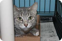 Medina, OH - Domestic Shorthair. Meet Denise, a cat for adoption. http://www.adoptapet.com/pet/13069382-medina-ohio-cat