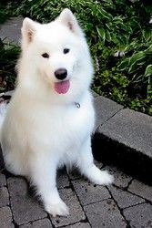 Arya is an adoptable Samoyed Dog in Montreal, QC. I am a purebred SAMOYED girl, sterilized and vaccinated, heartworm tested negative. My owner has to leave Canada because of a death in the family and ...