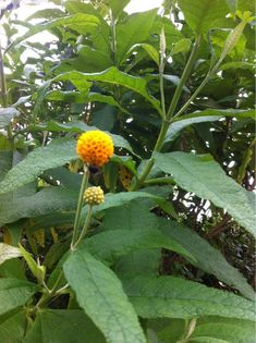 Orange Ball Tree (buddleja globosa): Native to Chile and Argentina.
