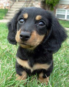 look at those little daschund eyes.