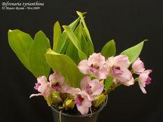 cultivando Orquídeas e idéias: BIFRENARIA- AS FLORES DO SOL