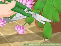 Image titled Care for a Christmas Cactus Step 12