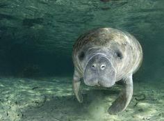 Posted by LiveScience  manatees