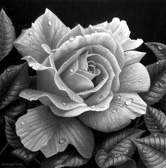 rose drawing stephen