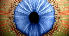 colored SEM of the iris with the lens removed to...