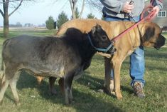 Iowa Farmer Is Selling Micro-Cows the Size of Large Dogs as Pets - Dr Wong - Emporium of Tings. Miniature Cattle, Miniature Donkey, Big Dogs, Large Dogs, Dexter Cattle, Dwarf Frogs, Pygmy Marmoset, Mini Cows, Mini Farm