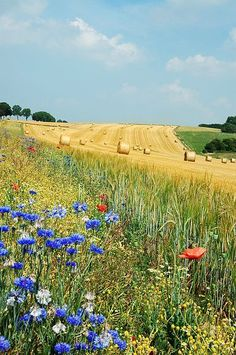 Edge of golden fields in Belgium. The wheat has been harvested and the straw bailed for winter. Wild flowers provide shelter and food for many insects and small animals.