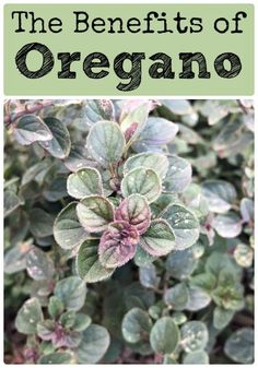 Discover the Benefits of Oregano - This wonderful herb is useful for way more than seasoning food with delicious flavor! Enjoy learning about growing oregano, using it in cooking, and it's benefits in herbal medicine.