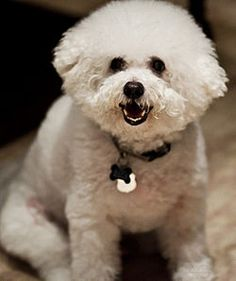 This bichon reminds me of my bichon! I miss him! My mom has dog-napped him!