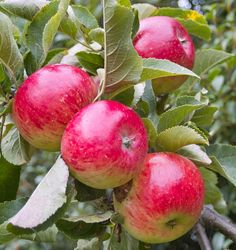 I wish my apple tree looked this good. Fruits And Vegetables Pictures, Vegetable Pictures, Fruit Bearing Trees, Fruit Trees, Wallpaper Nature Flowers, Apple Varieties, Fruit Picture, Watercolor Fruit, Apple Harvest
