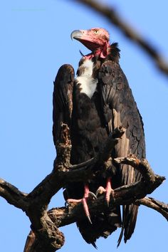 Red-headed vulture - Wikipedia, the free encyclopedia