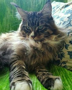 HOLLYCOON Captain Kathryn Janeway www.hollycoon.com #hollycoon #mainecoonlovers #catsoftheworld #catslover Big Cats, Cool Cats, Cats And Kittens, Kitty Cats, Genoa Italy, Cattery, Maine Coon Cats, Gentle Giant, Beautiful Cats