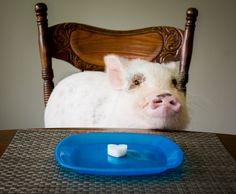 Mini pigs often have dry skin, so we do several things to battle Oscar's mini pig dry skin. One of our favorite ways is to use coconut oil treats!