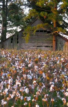 Pretty Old Barn Sitting Along Side A Cotton Field
