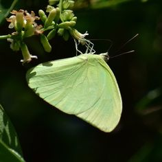 #butterflies Statira Sulphur photographed by Edward Perry IV at McLarty State Treasure Museum part of Sebastian Inlet State Park in Indian River County Florida http://ift.tt/2vUnwGd http://ift.tt/2uvs4j1 #macro #insectagram #flowers