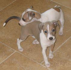 Italian Greyhound Puppy Pictures Information