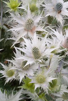 Metalic Silver Sea Holly   30 by SowBlessedSeeds on Etsy, $3.89
