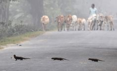 Tres mangostas indias cruzan la calle en Pobitora, in India (BIJU BORO/AFP/Getty Images)