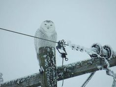 My daughter took this photo - she has been seeing this Owl every day on her way to work. It is visiting Bowling Green near Laurel.
